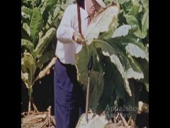 Men harvesting tobacco (silent)