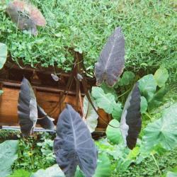 Purple-leaf plant in home garden
