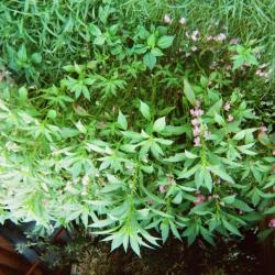 Garden wildflower bush