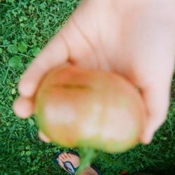 Hand holding a garden tomato